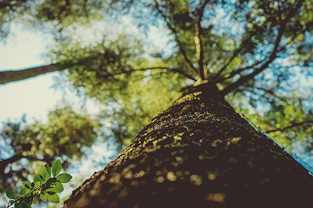 Tree trunk rising upward into forest canopy and blue sky