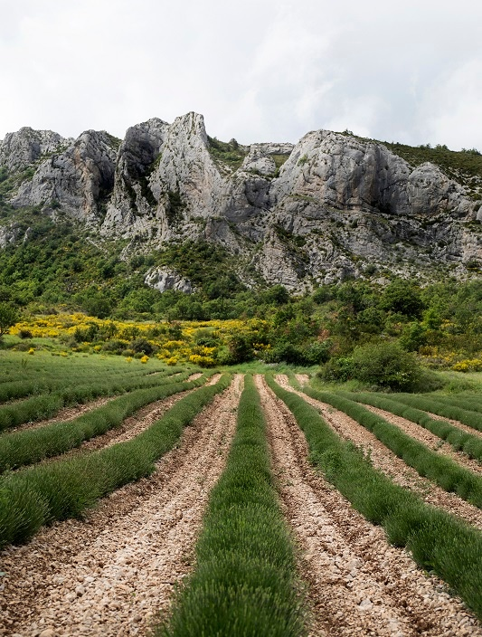 Rows of lavender lead to a rocky peak