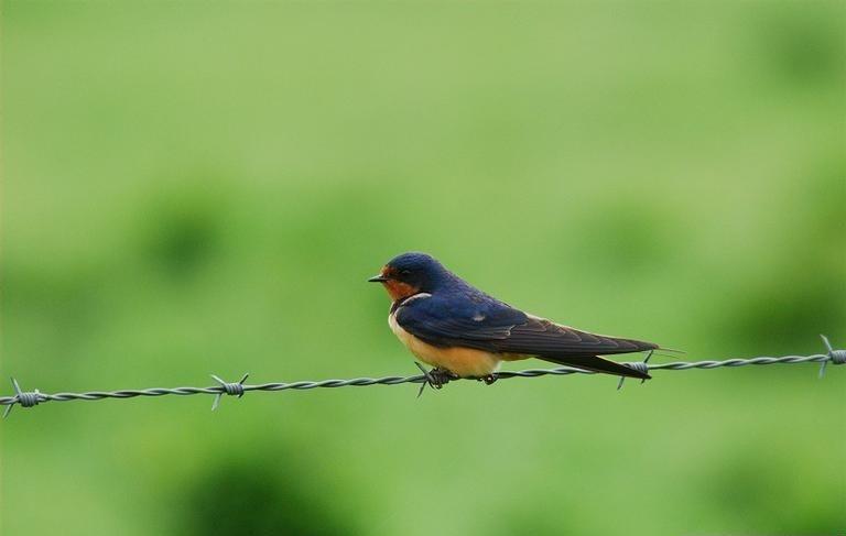 Barn swallow bird sitting on wire