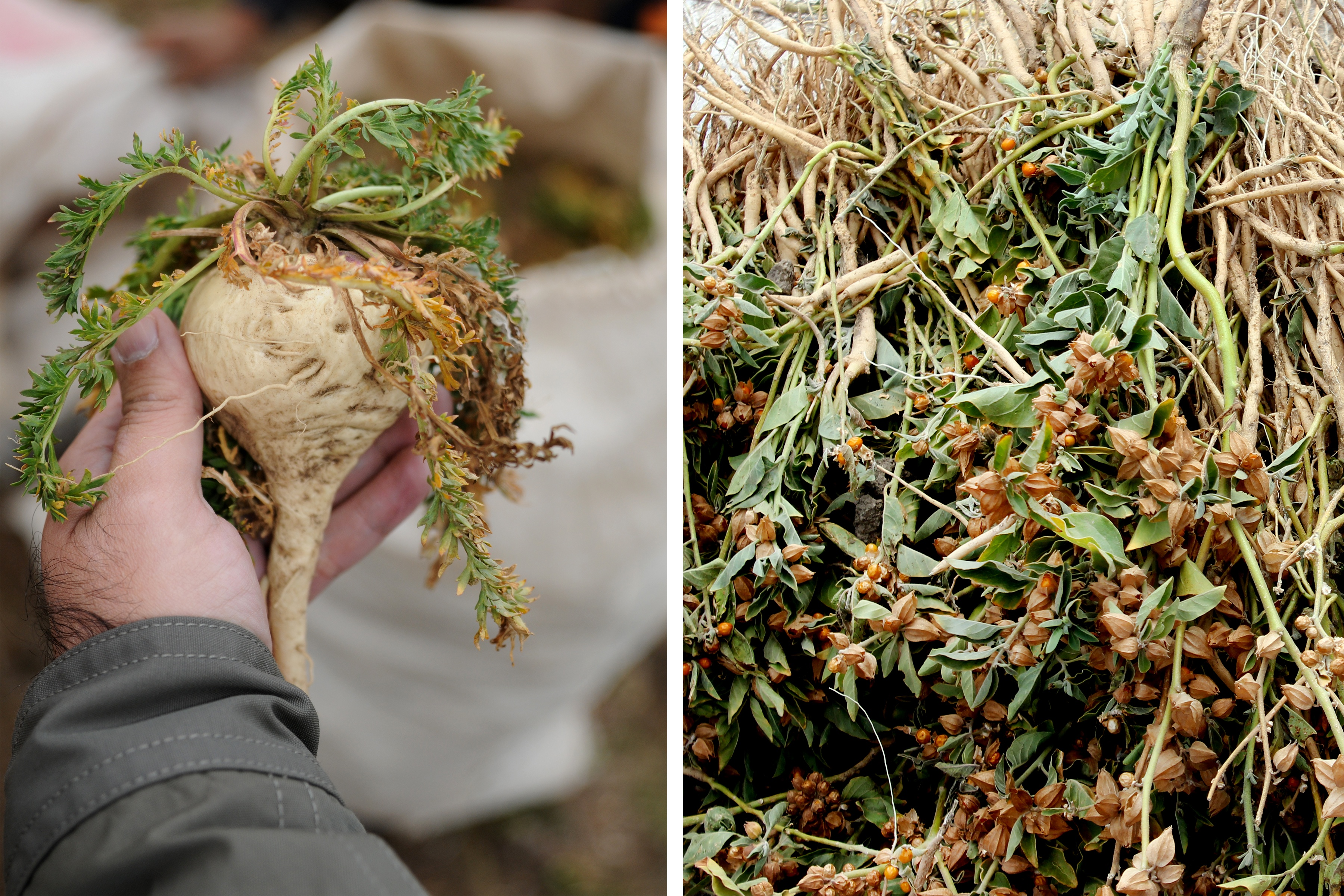 Hand holding fresh maca root and second image of ashwagandha plants laid out after harvest