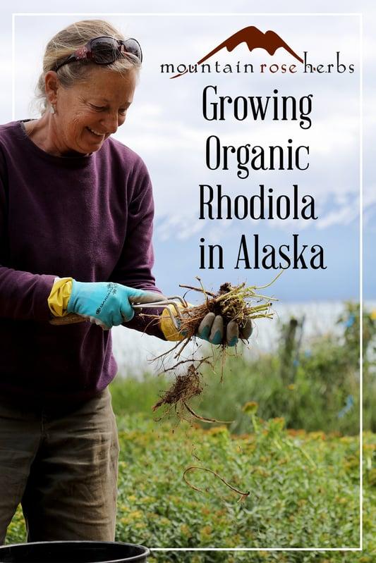 Pin for growing organic rhodiola in Alaska