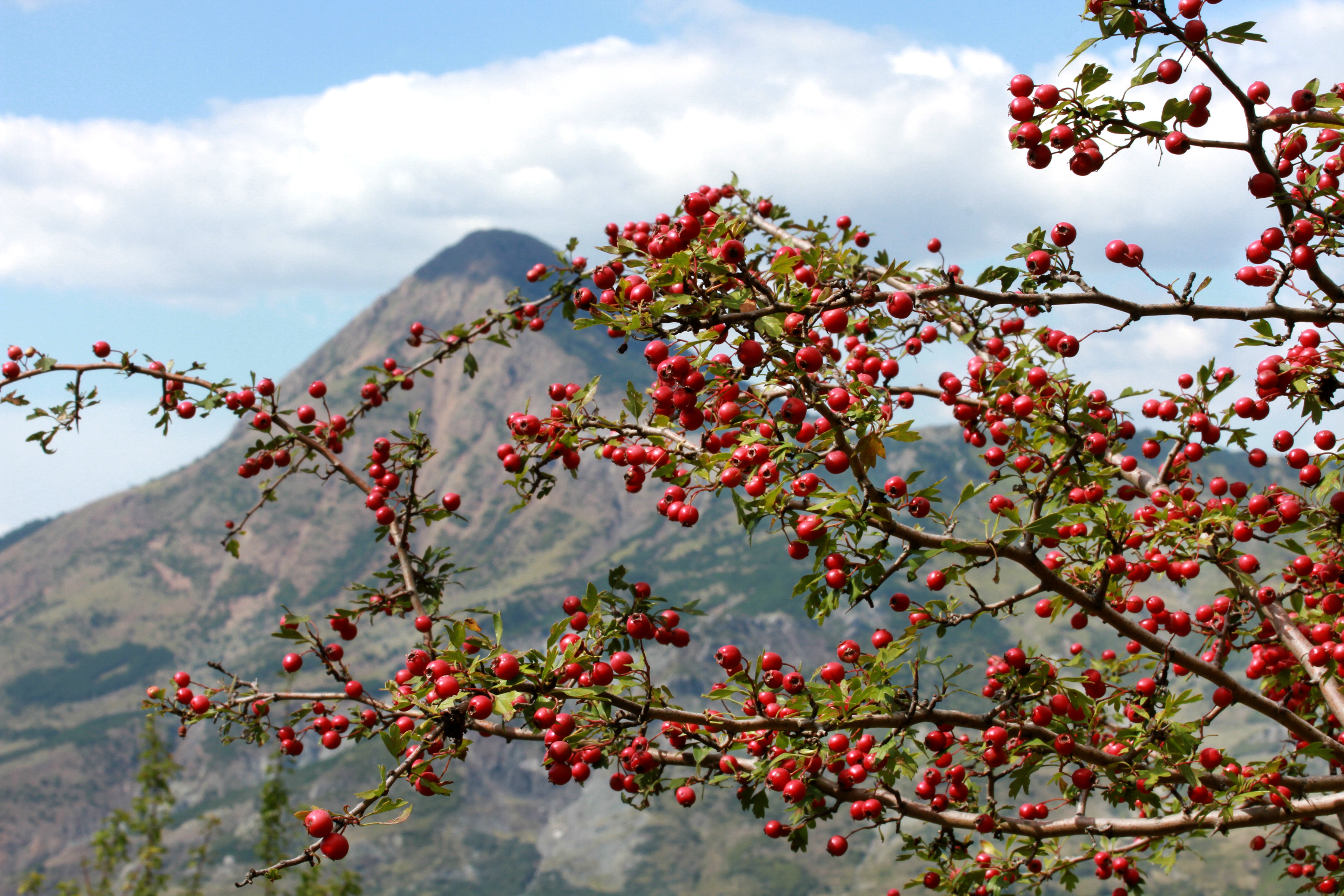 A colorful bush filled with rosehips sits in the foreground while a looming mountain peeks through under the clouds in Albania.