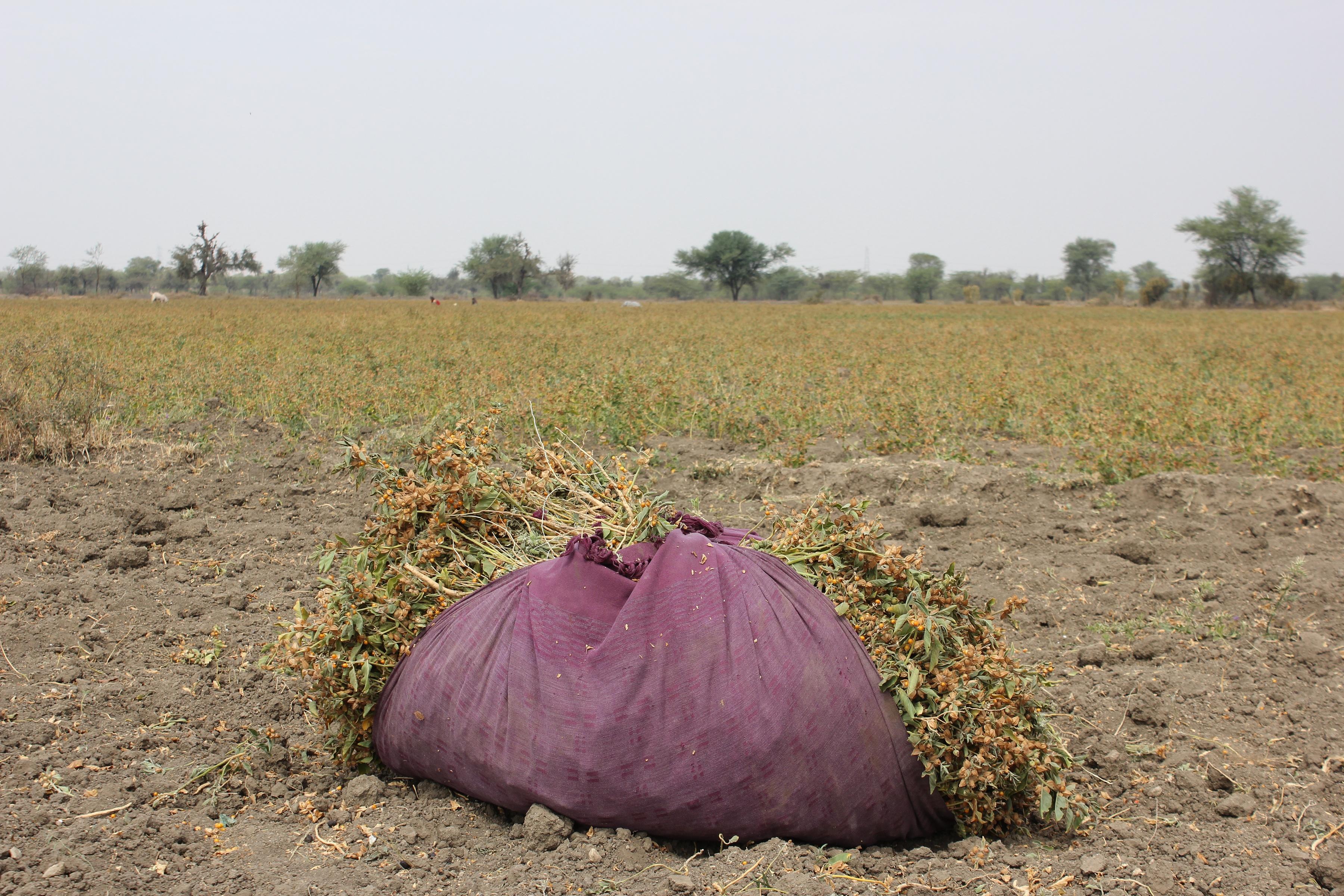 Bundle of Freshly Harvested Ashwagandha Sitting On The Farm In Dirt in Field of Ashwagandha