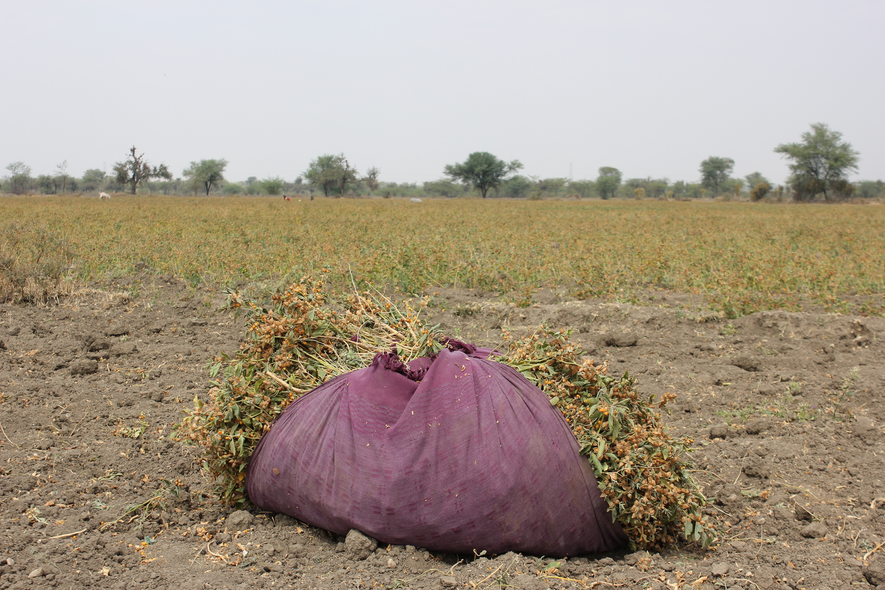 Bundle of Freshly Harvested Ashwagandha Sitting On The Farm In Dirt in Field of Ashwagandha