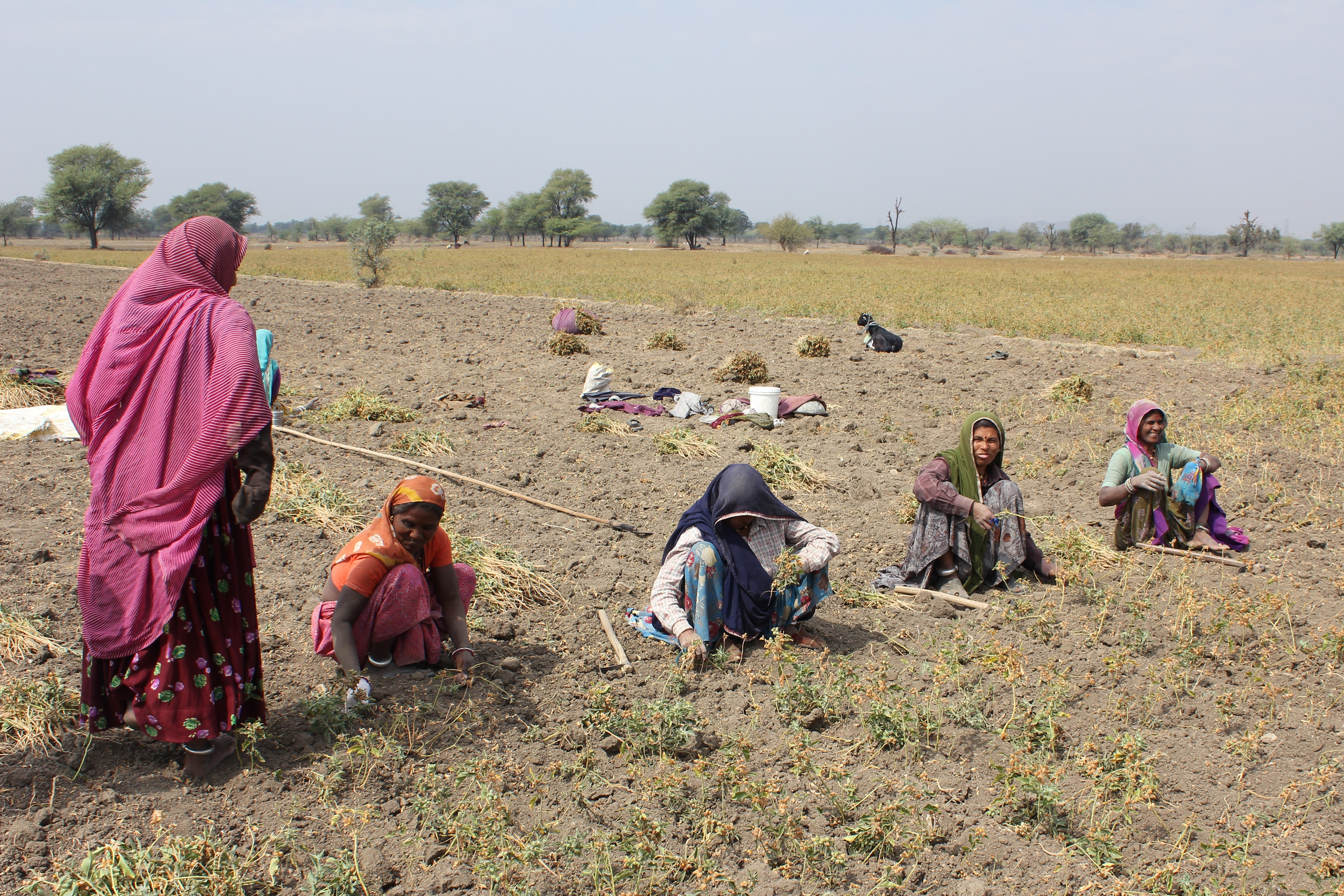 Farmers harvesting Ashwagandha by hand and using tools in Ashwagandha field in India