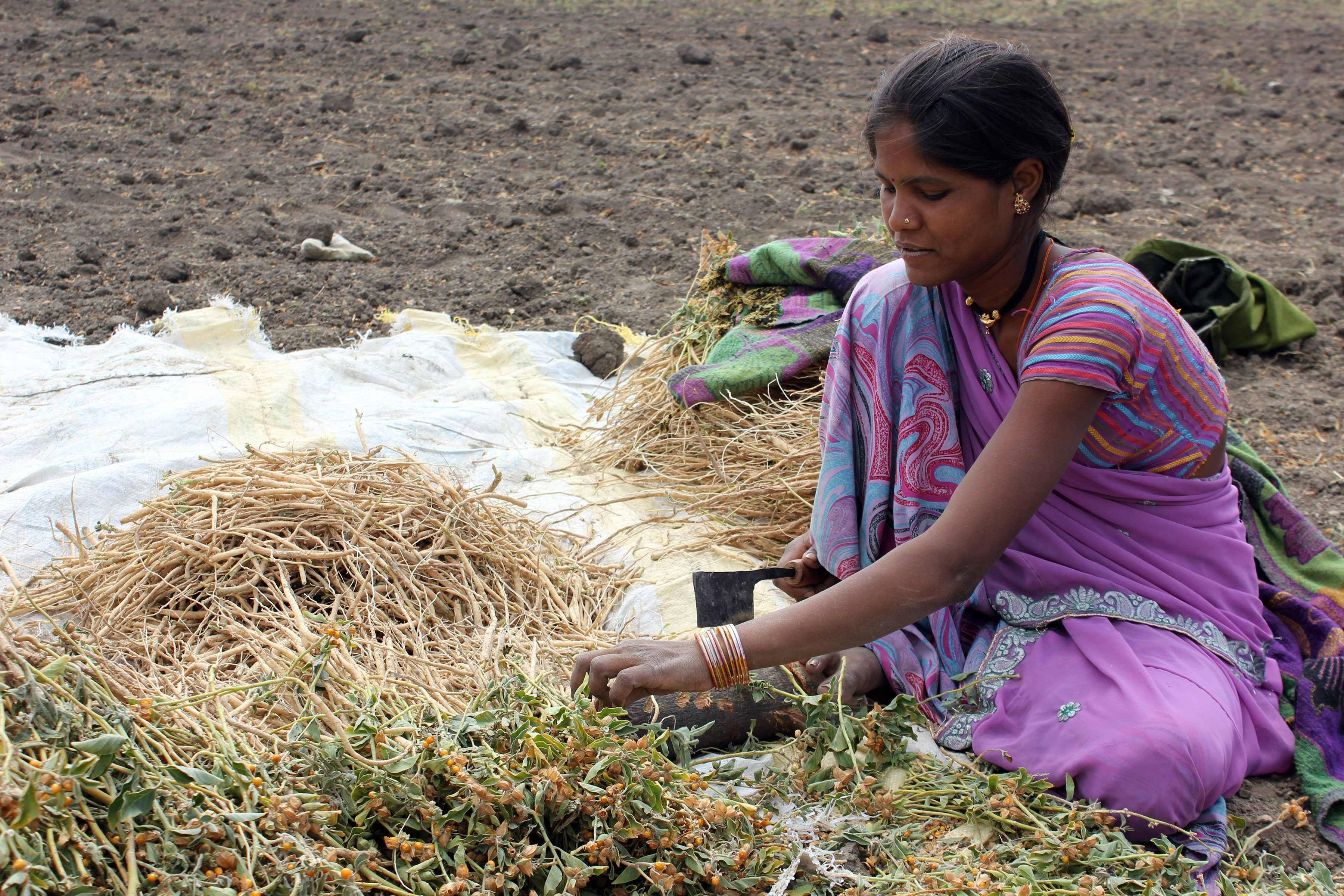 Indian farmer sitting in Ashwagandha field cutting the leaf and flowers from the dried roots
