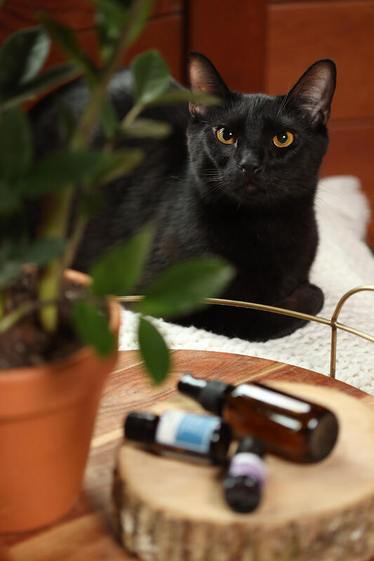 Black cat with potted plant and aromatherapy ingredients.