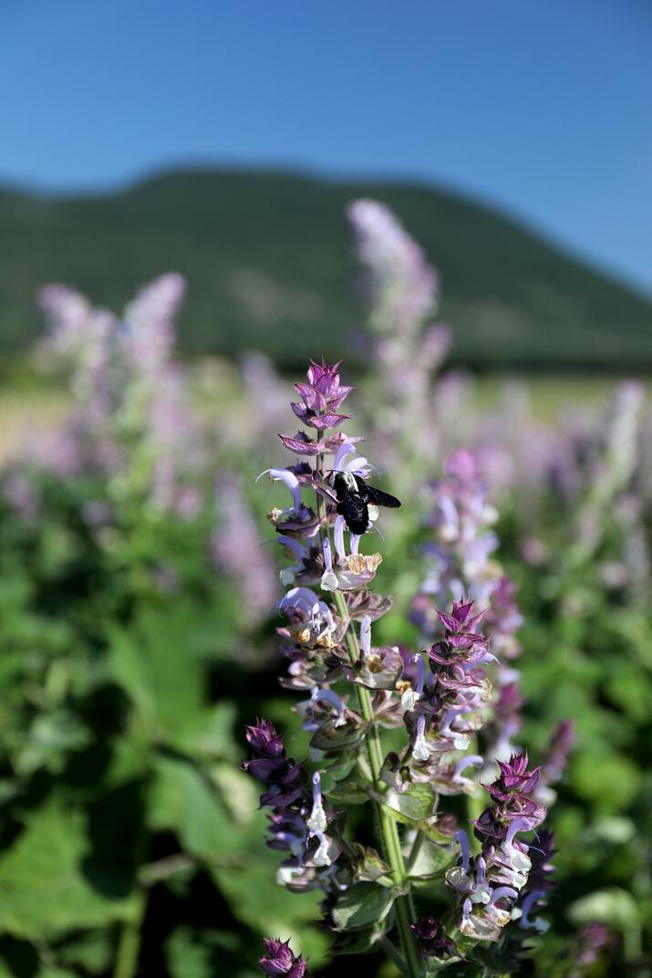 Bee perched on a flowering clary sage plant in a field with mountains behind.