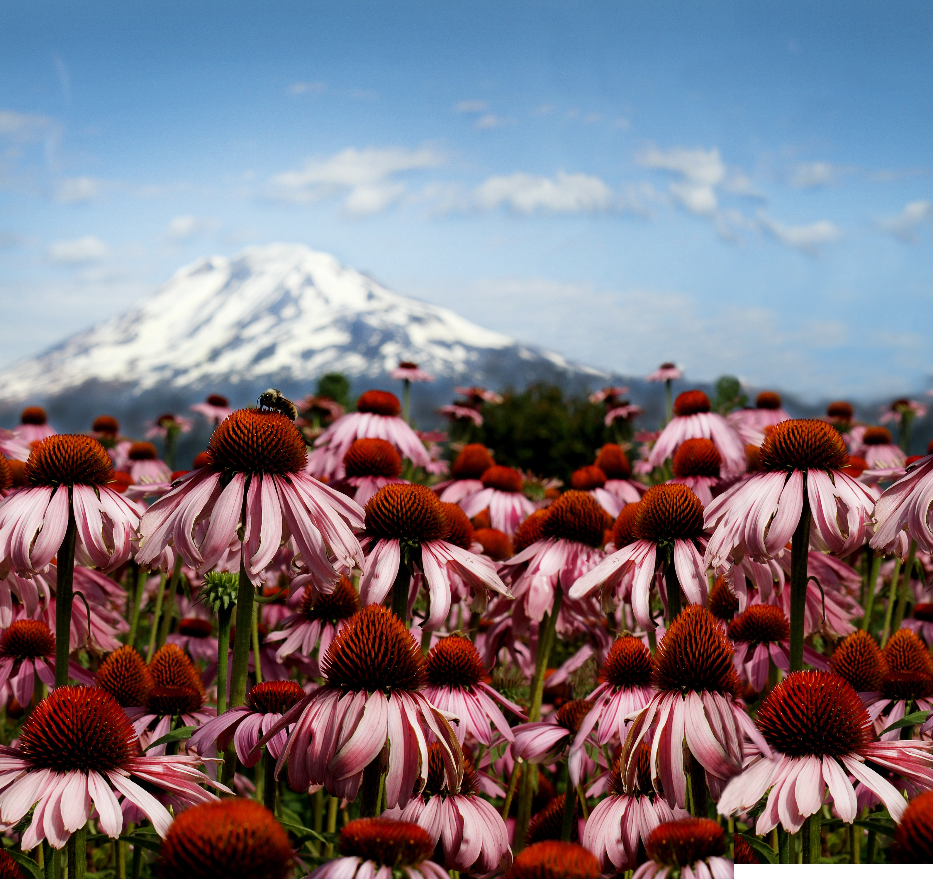 Bee sitting on top of echinacea flower in a field with a mountain in the background