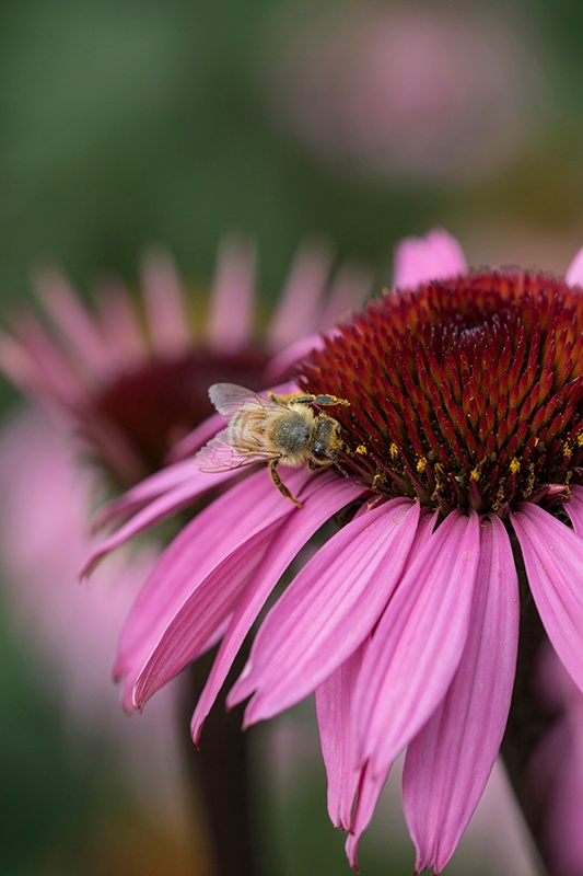close up of bee resting on pink echinacea flower