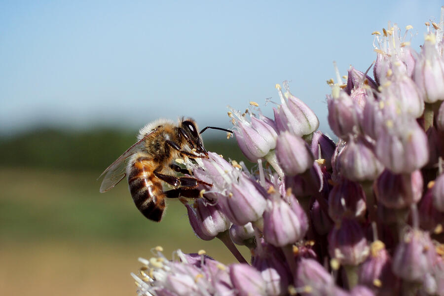 Bee_onion