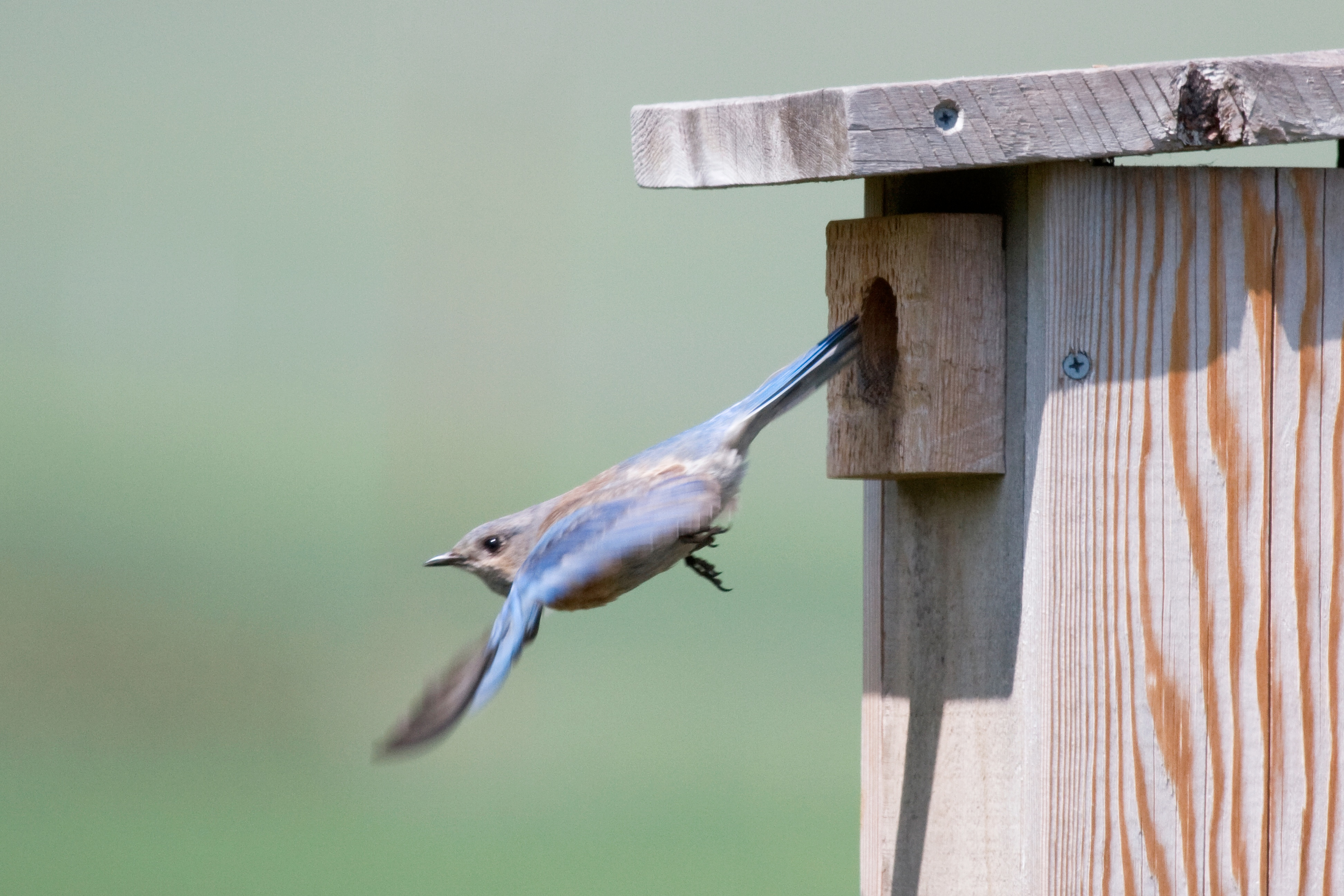 Bluebird leaving nest box and starting to fly
