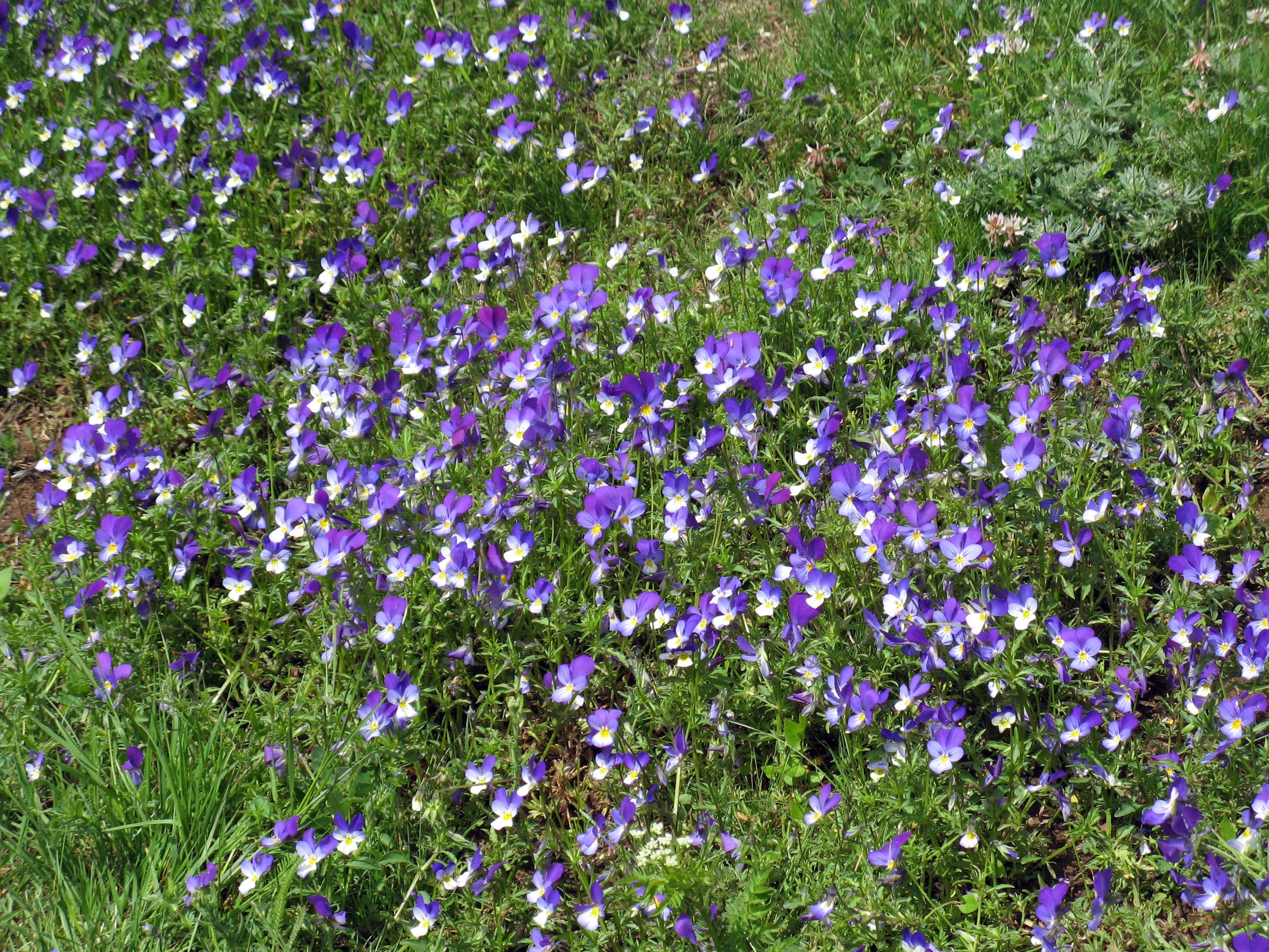 Field of purple violet flowers in Bulgaria