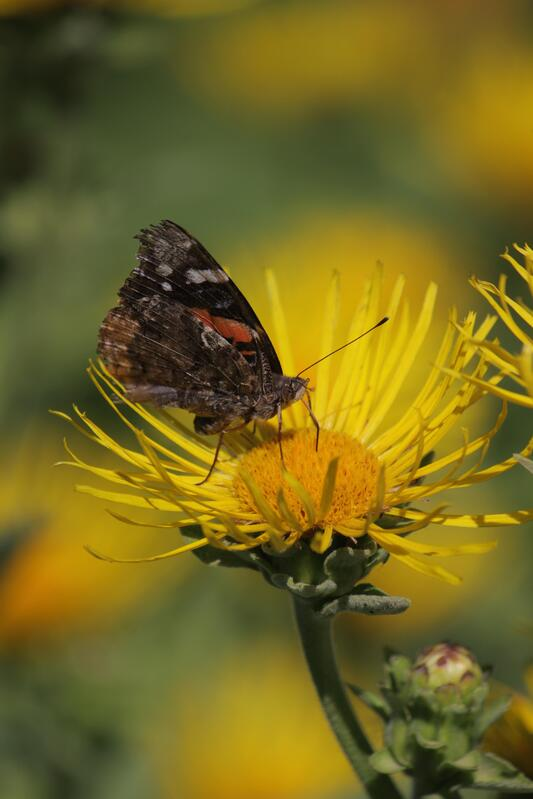 Butterfly sitting on a yellow flower