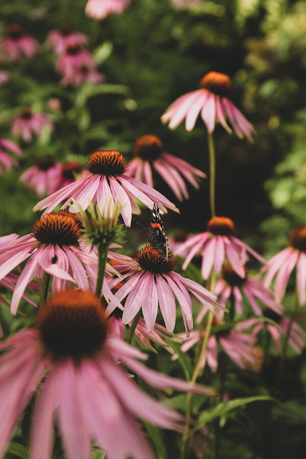 A butterfly resting on an Echinacea bloom.
