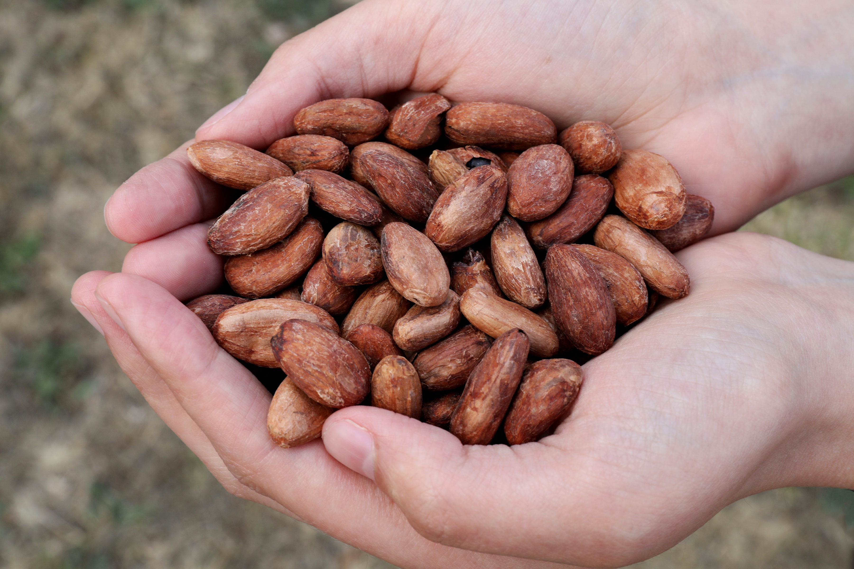 Hands holding roasted dried cacao beans in their shells
