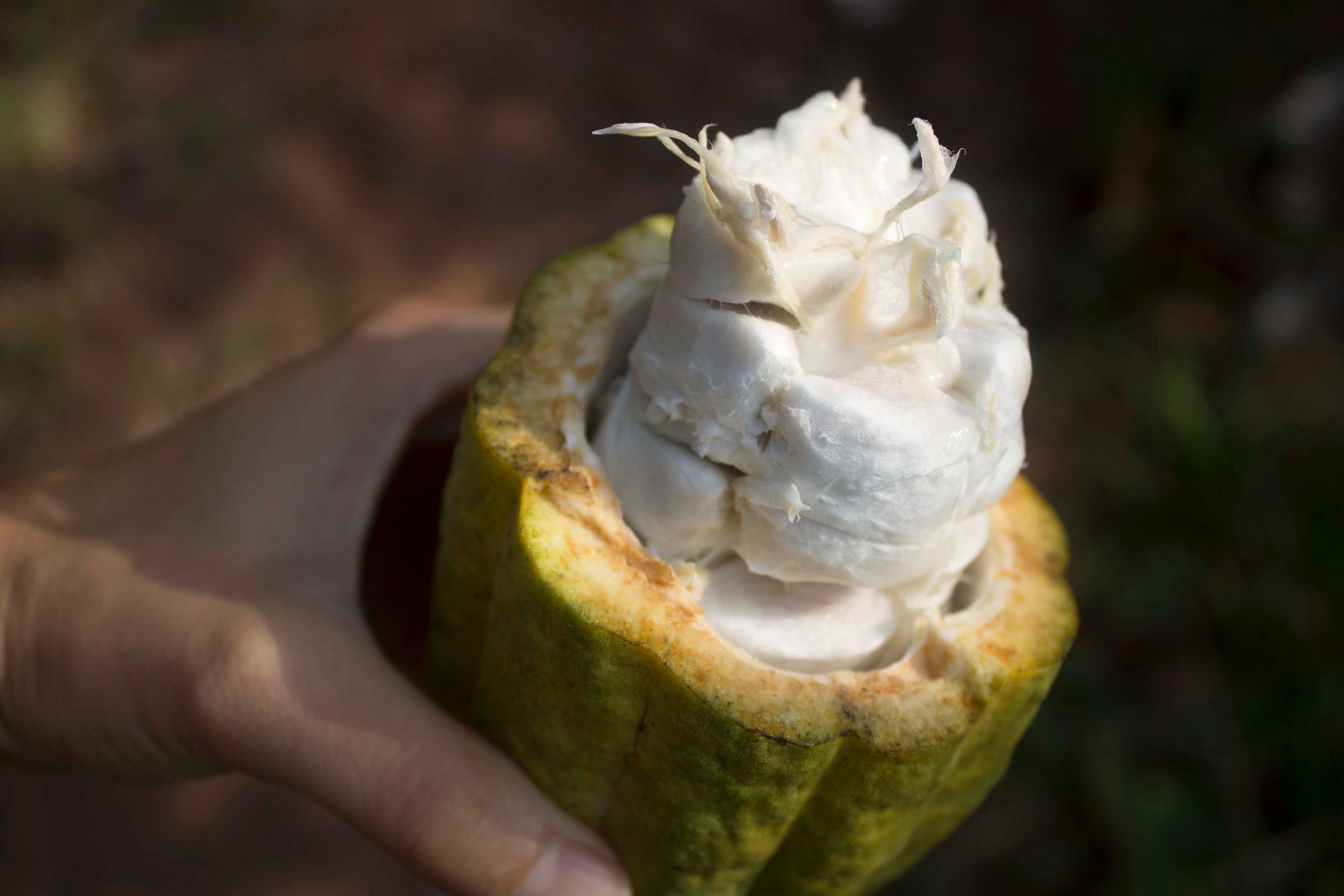 Hand Holding Cacao Fruit Cut Open Exposing Cacao Beans and Cacao Flesh