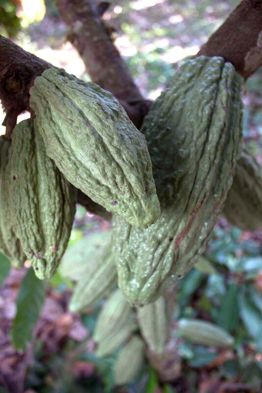 Theobroma cacao tree pods hanging from tree in forest