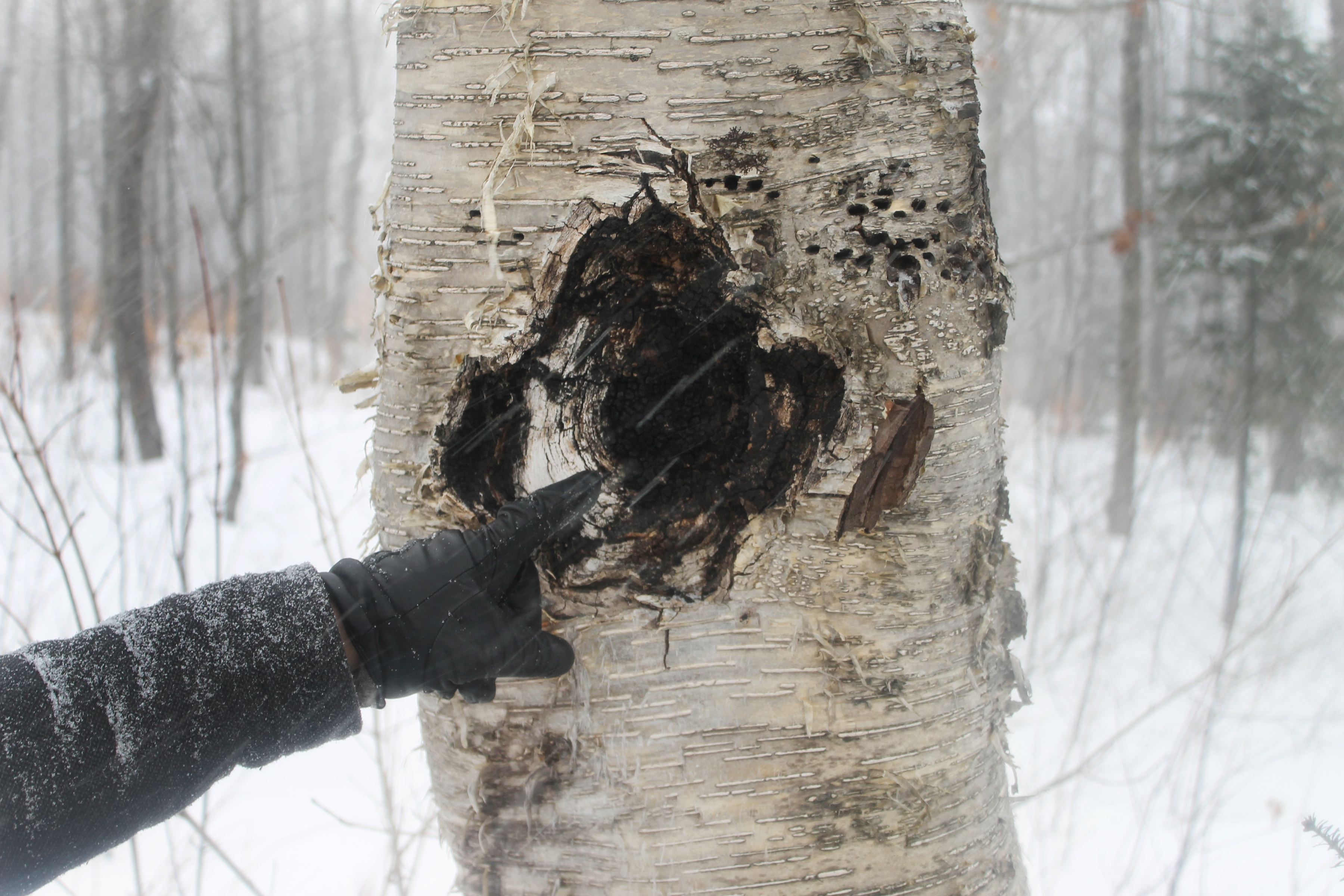 Hand pointing to are where chaga mushroom was harvested