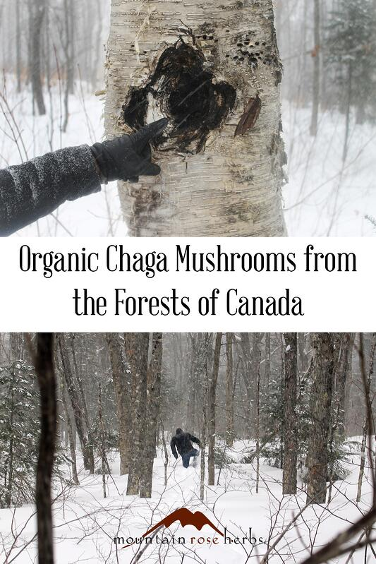 Pin for wildharvesting organic chaga mushrooms from the forests of Canada