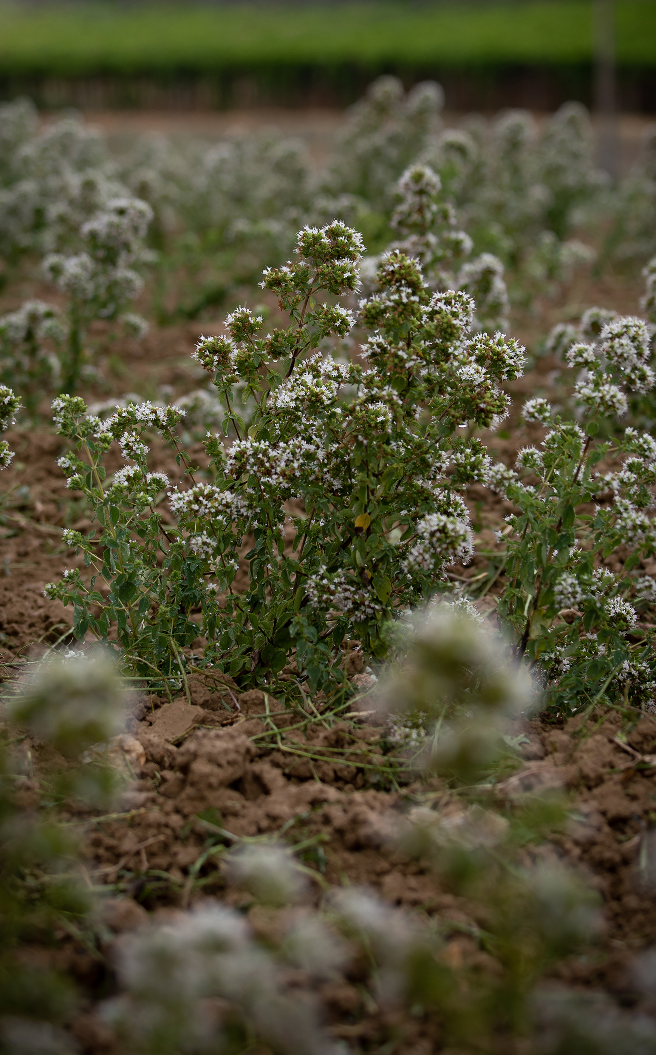 Oregano plants in neat rows display their freshly bloomed white flowers. Clusters of herbs are bursting from rich, light brown, volcanic soil.