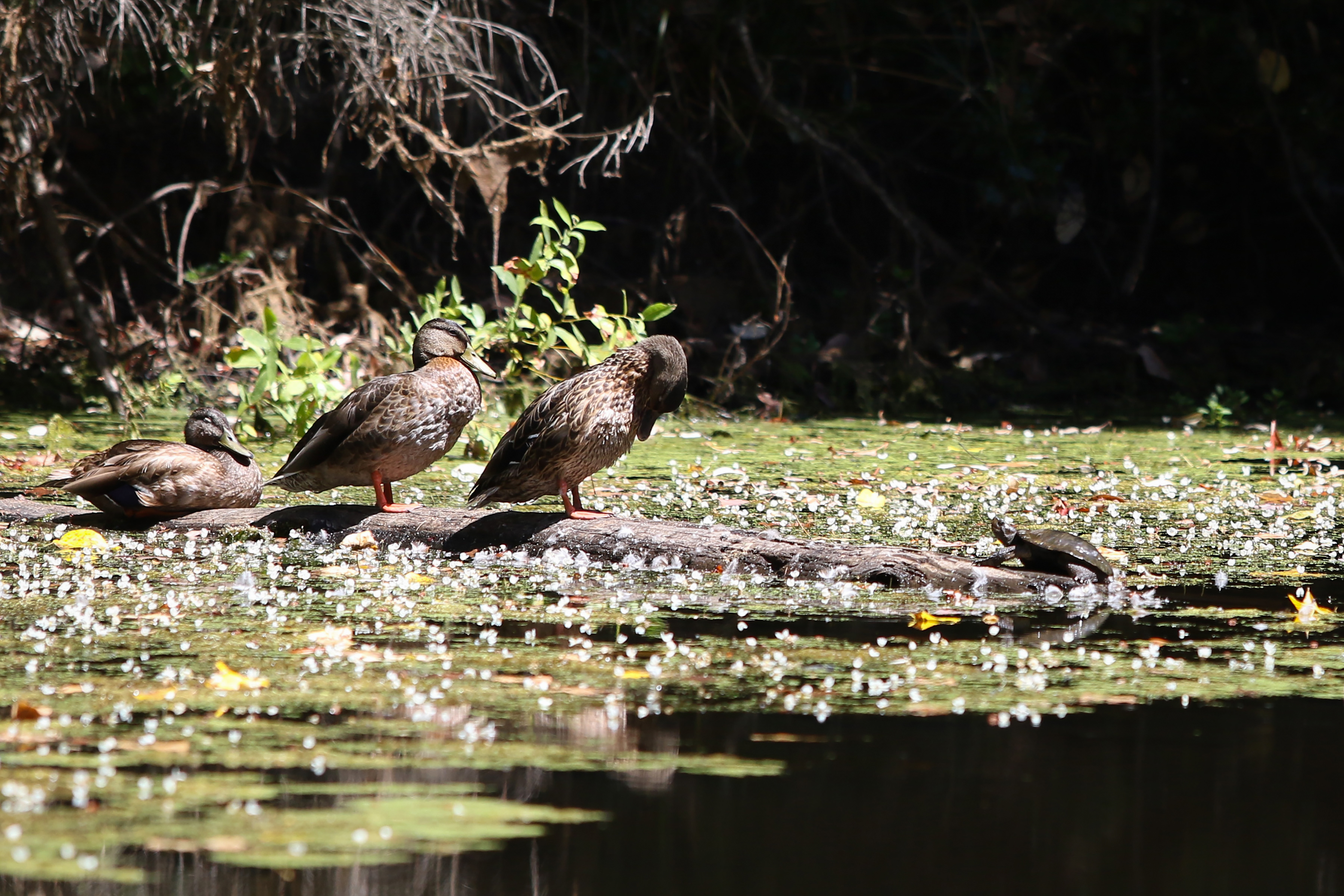 Ducks and a Turtle standing on a log in a bioswale.