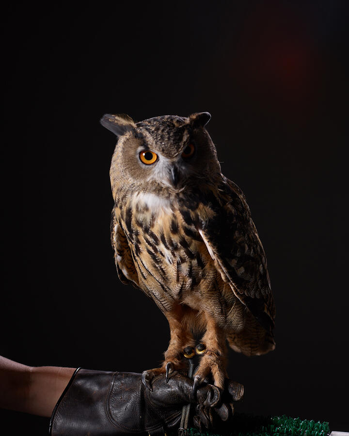 Owl standing on a human arm