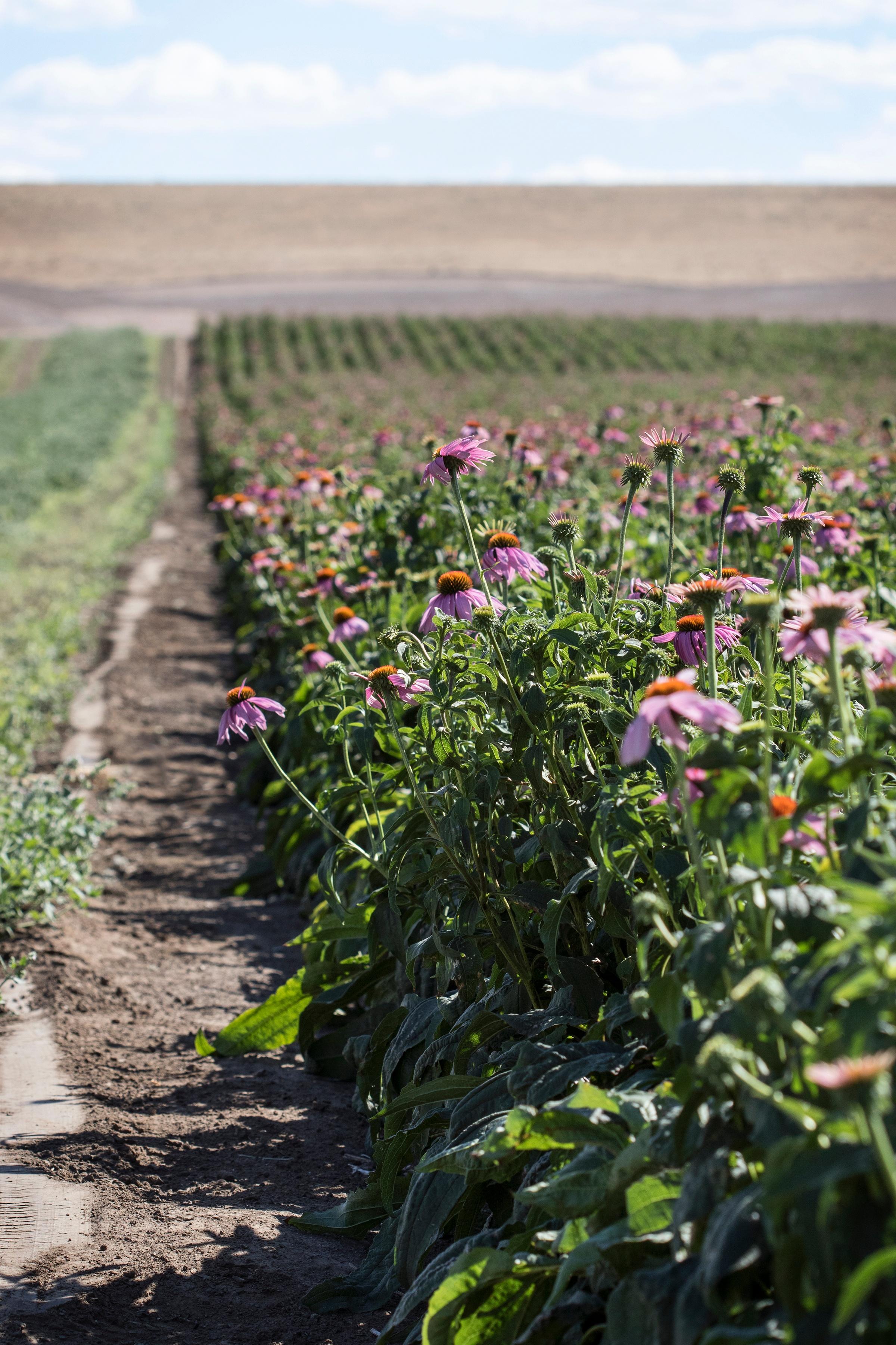 Fresh echinacea flowers growing on farm