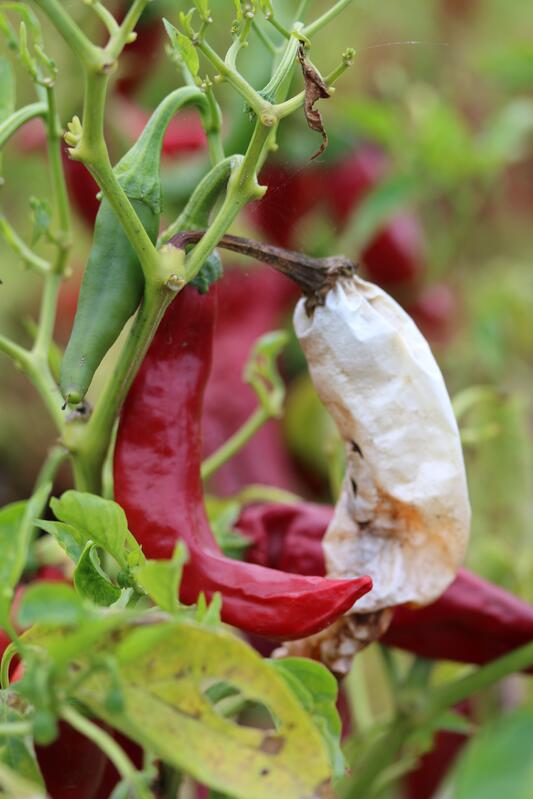 Healthy red chili next to a dried out ghost pod pepper still attached to the plant.