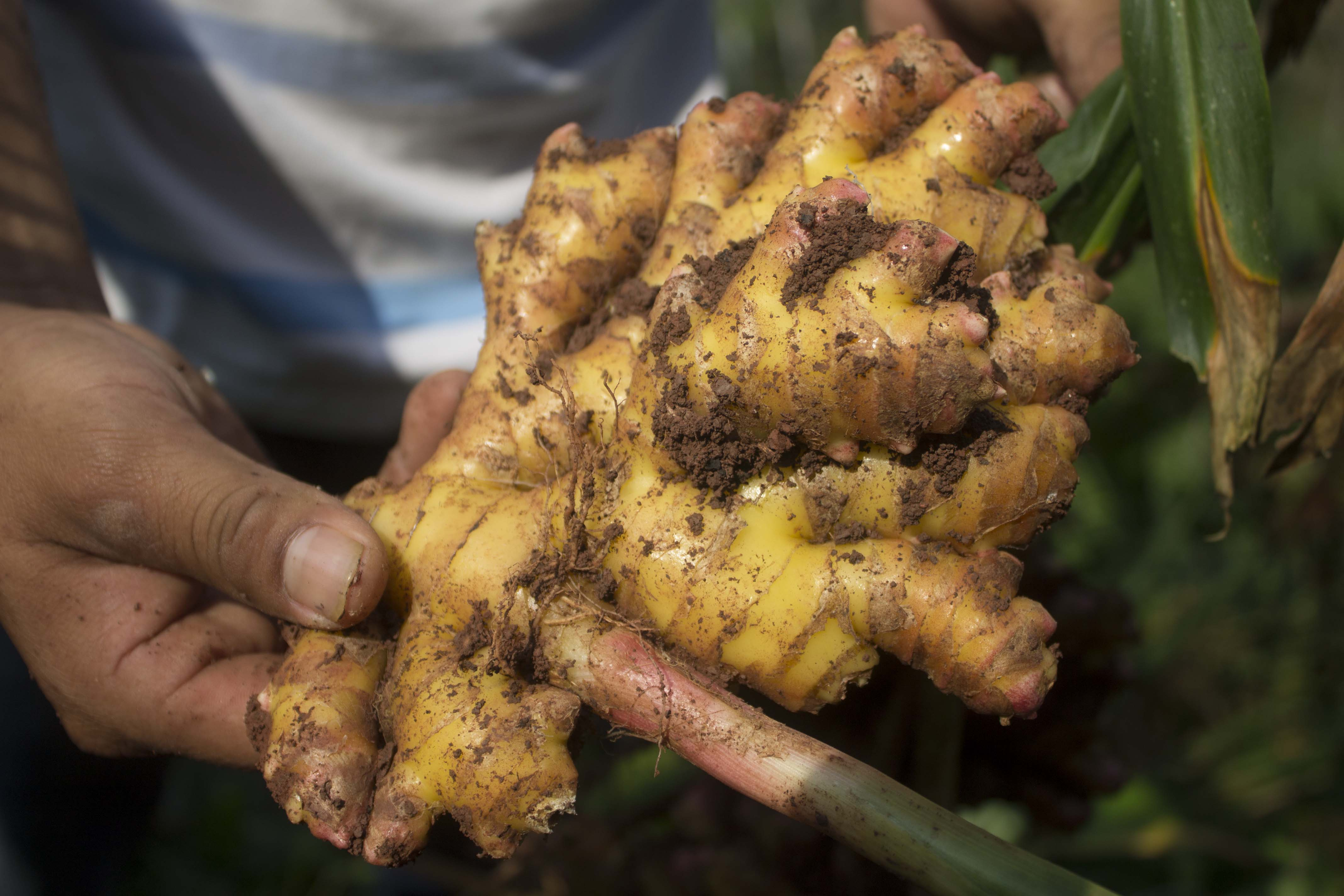 Peruvian farmer handles fresh ginger on the farm, close-up photo of ginger root