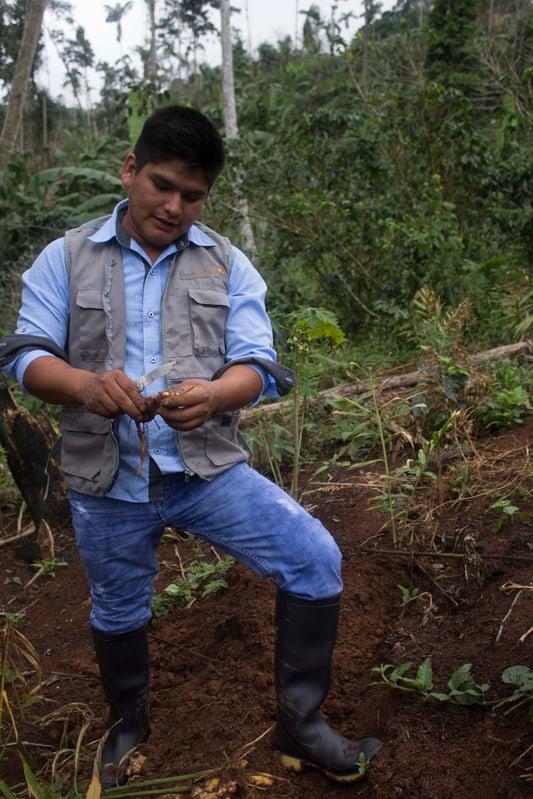 Ginger farmer in Peru examining freshly harvested ginger in the field