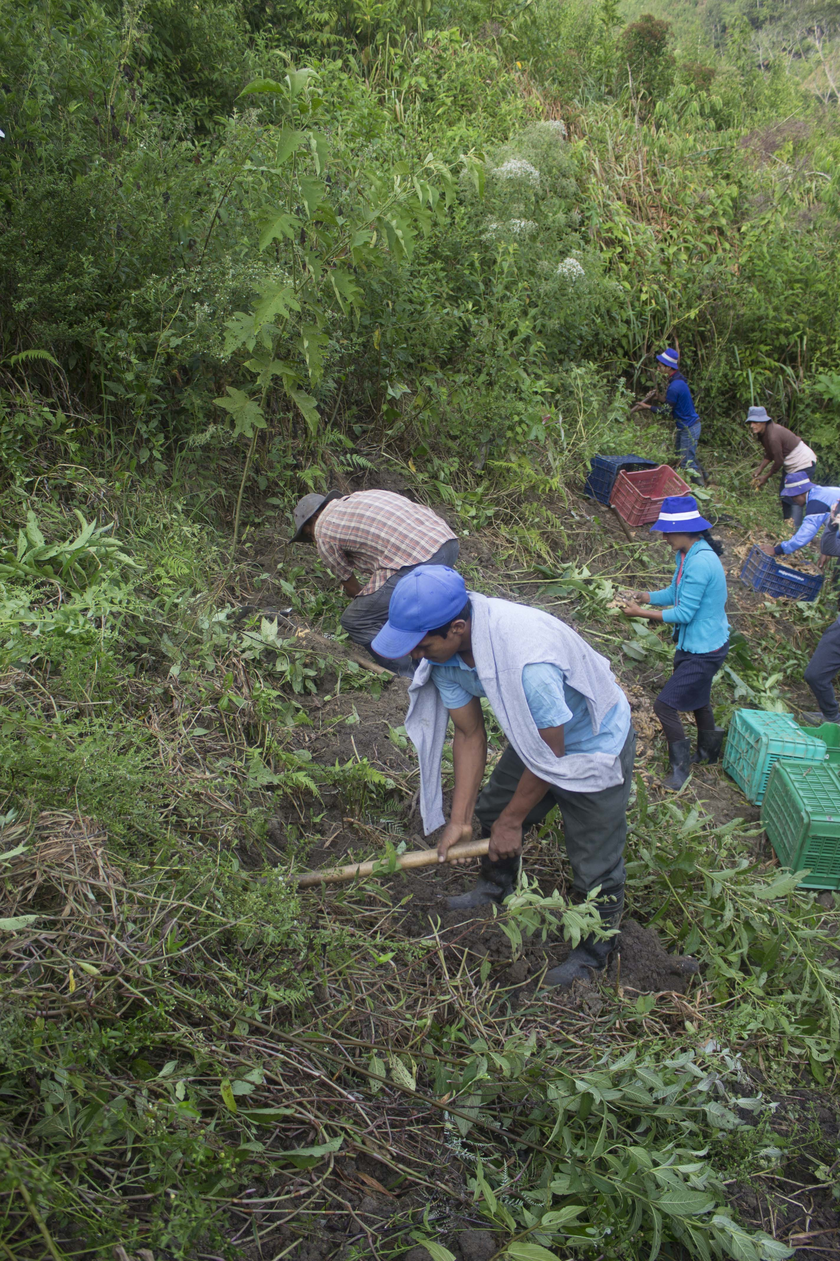 Our farmers with tools harvesting organic ginger on hillside of Peruvian mountains