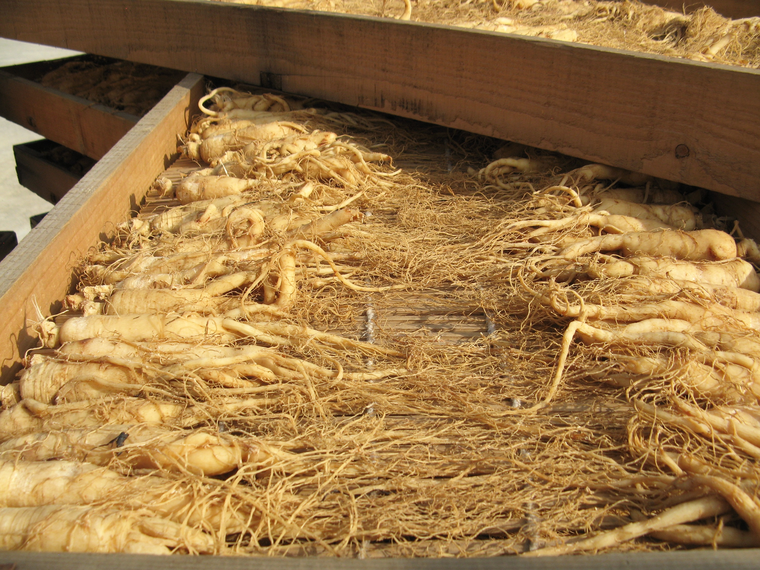 Ginseng roots laying out on wooden board in China for steaming into red ginseng