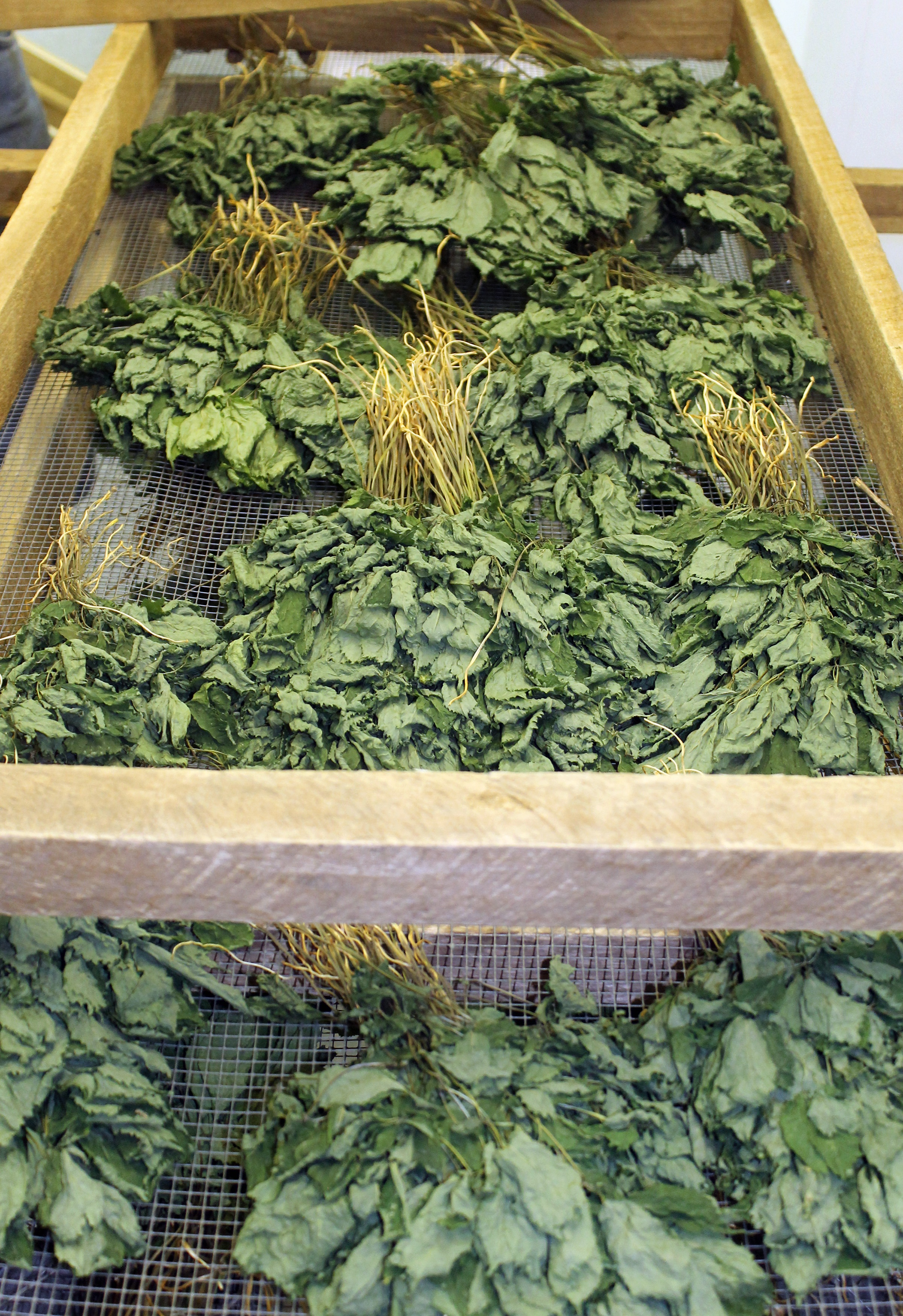 Forest-grown American ginseng leaves drying after harvest on wooden bed