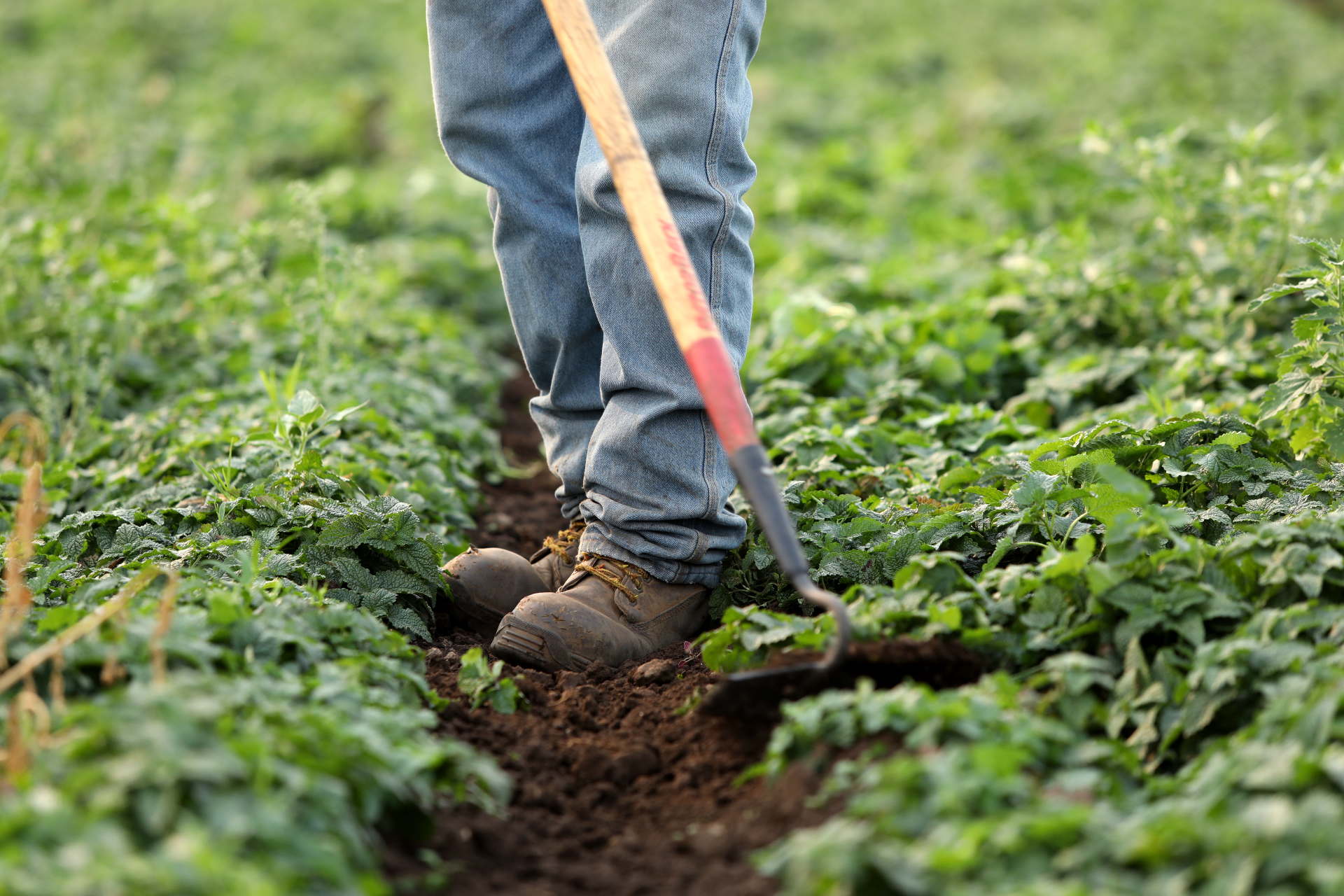 Person standing in a green field of a farm working with a hoe.
