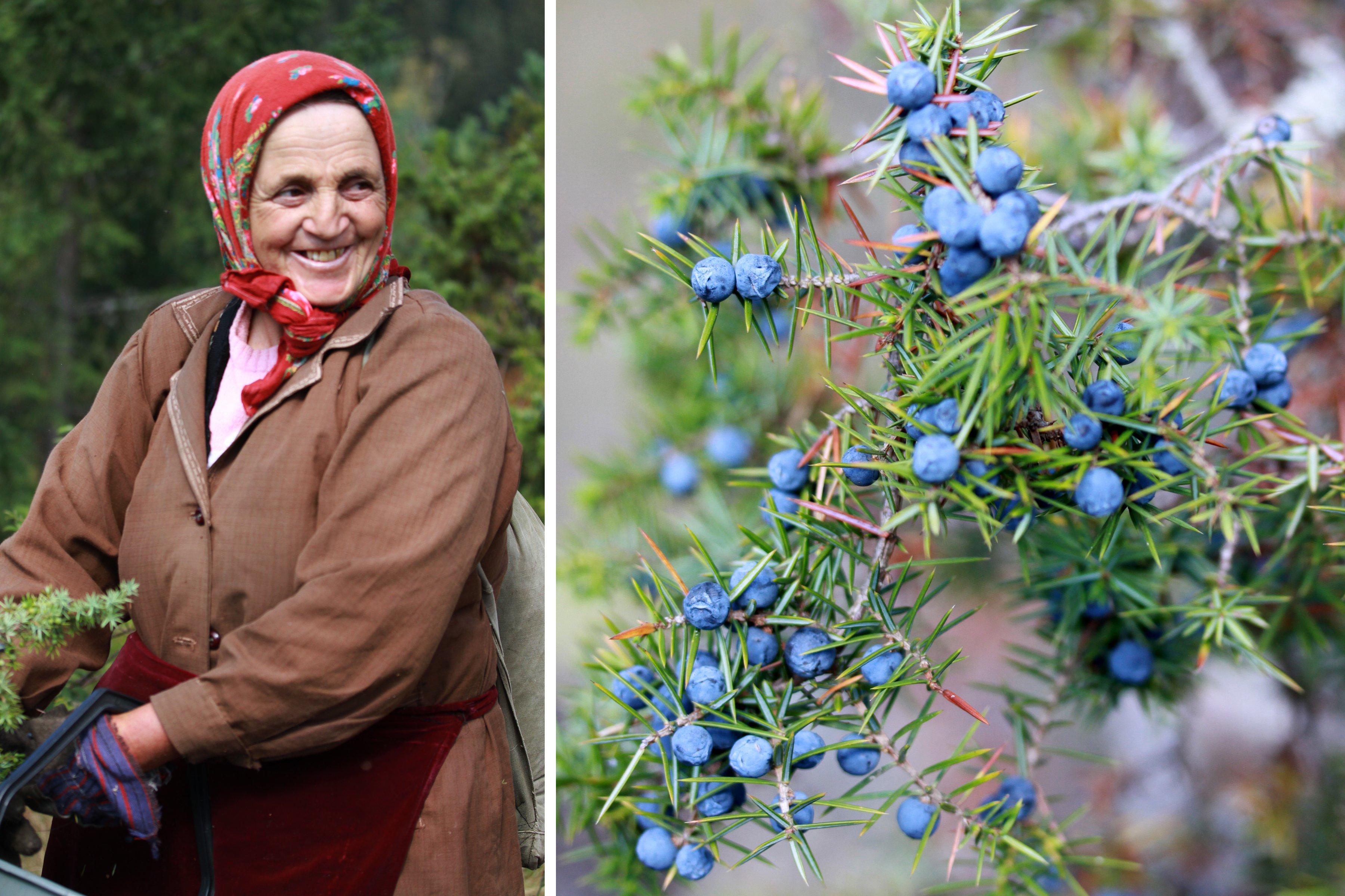 Seasoned hard working elder alongside juniper berry plant.