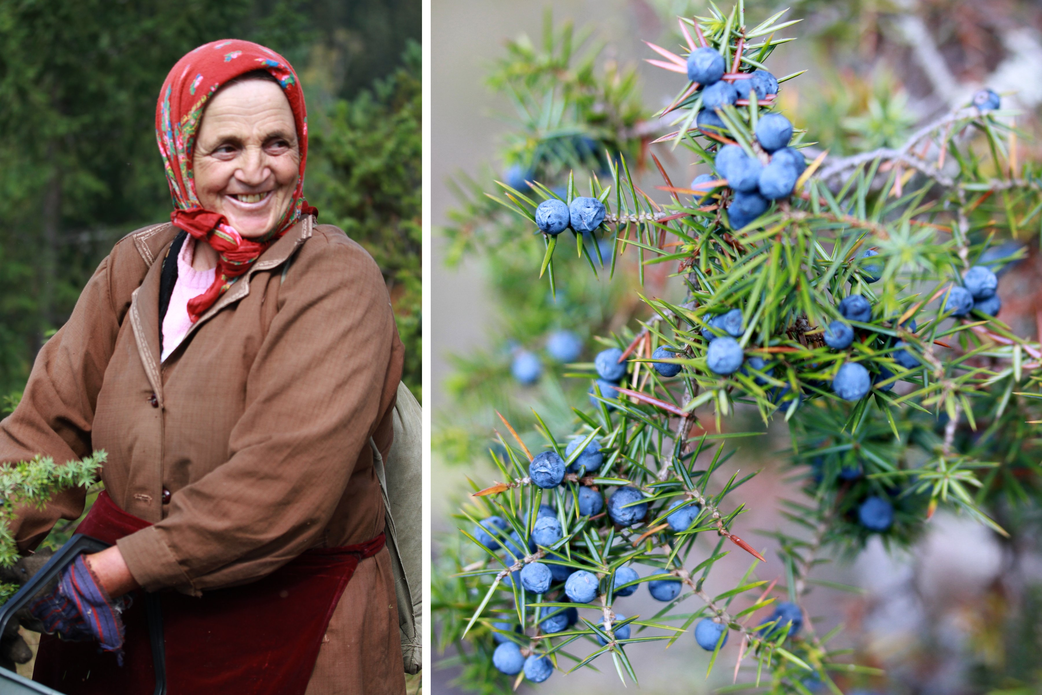 Seasoned hard working elder alongside juniper berry plant.