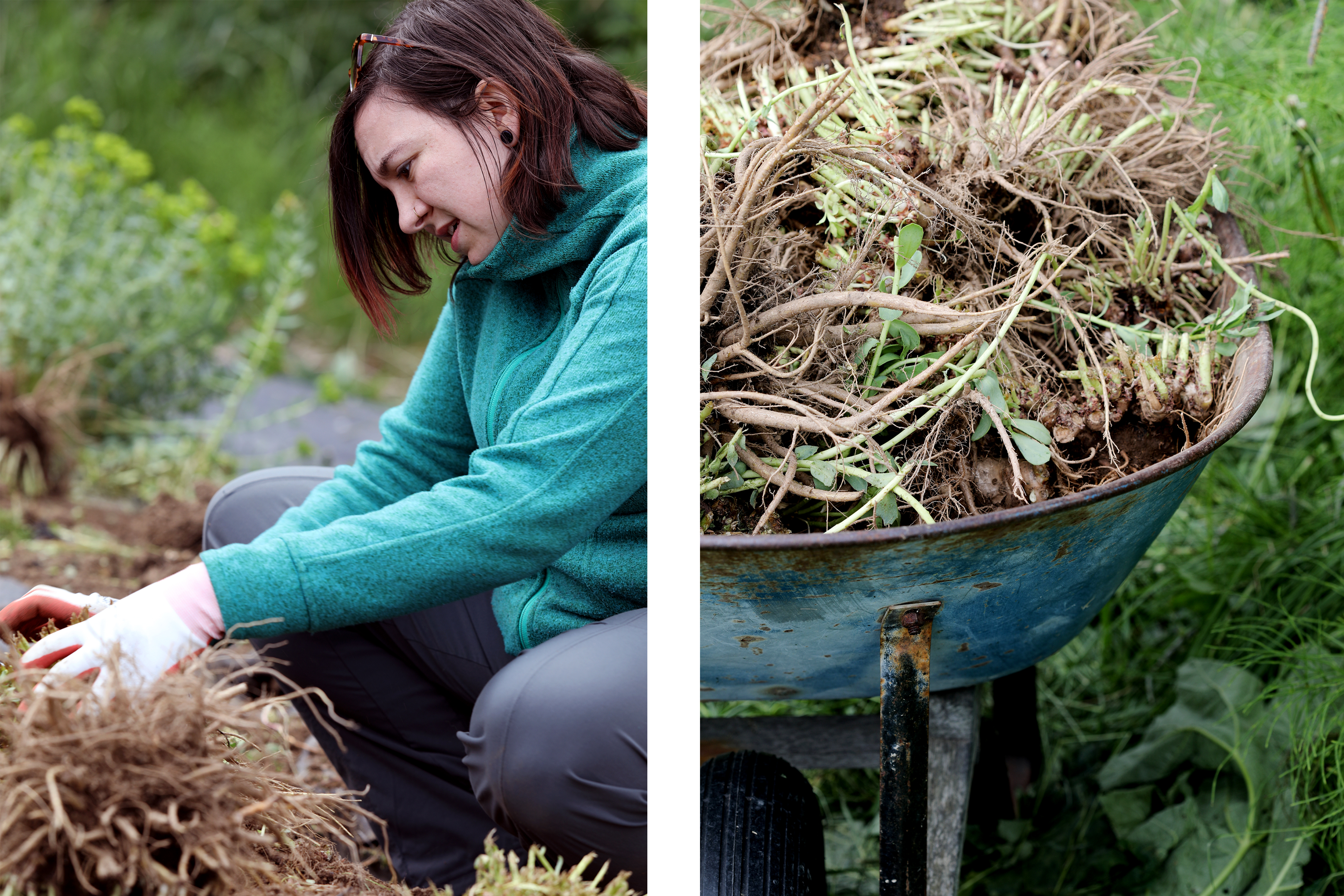 Woman harvesting plant roots by hand alongside another photo of a rustic wheelbarrow filled with roots.