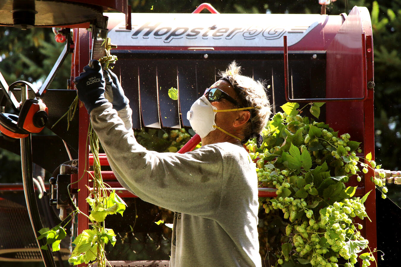 Farmer preparing a mechanical hop stripping machine for action with hops at the ready