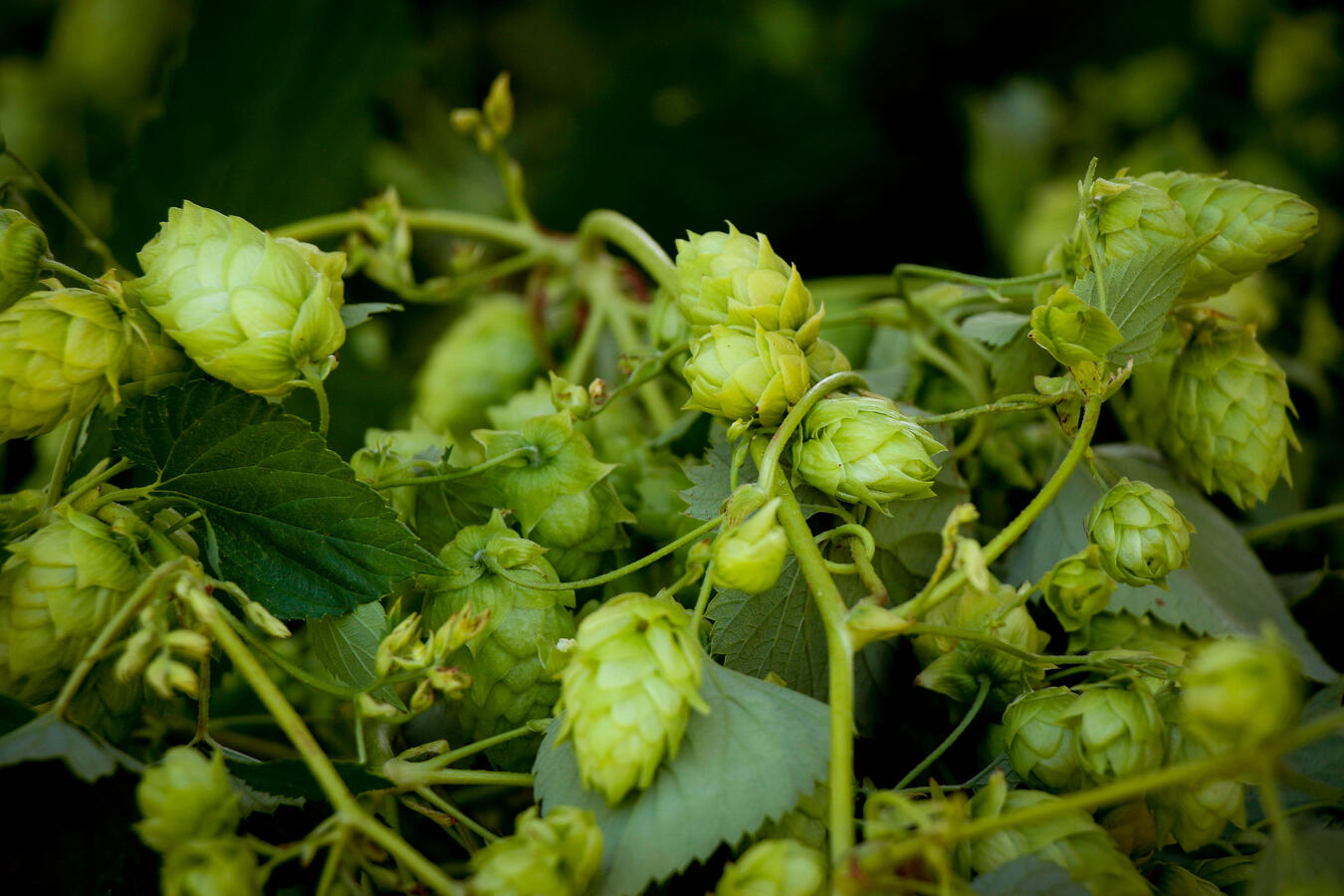 Beautiful hops flowers still on the vine after harvest