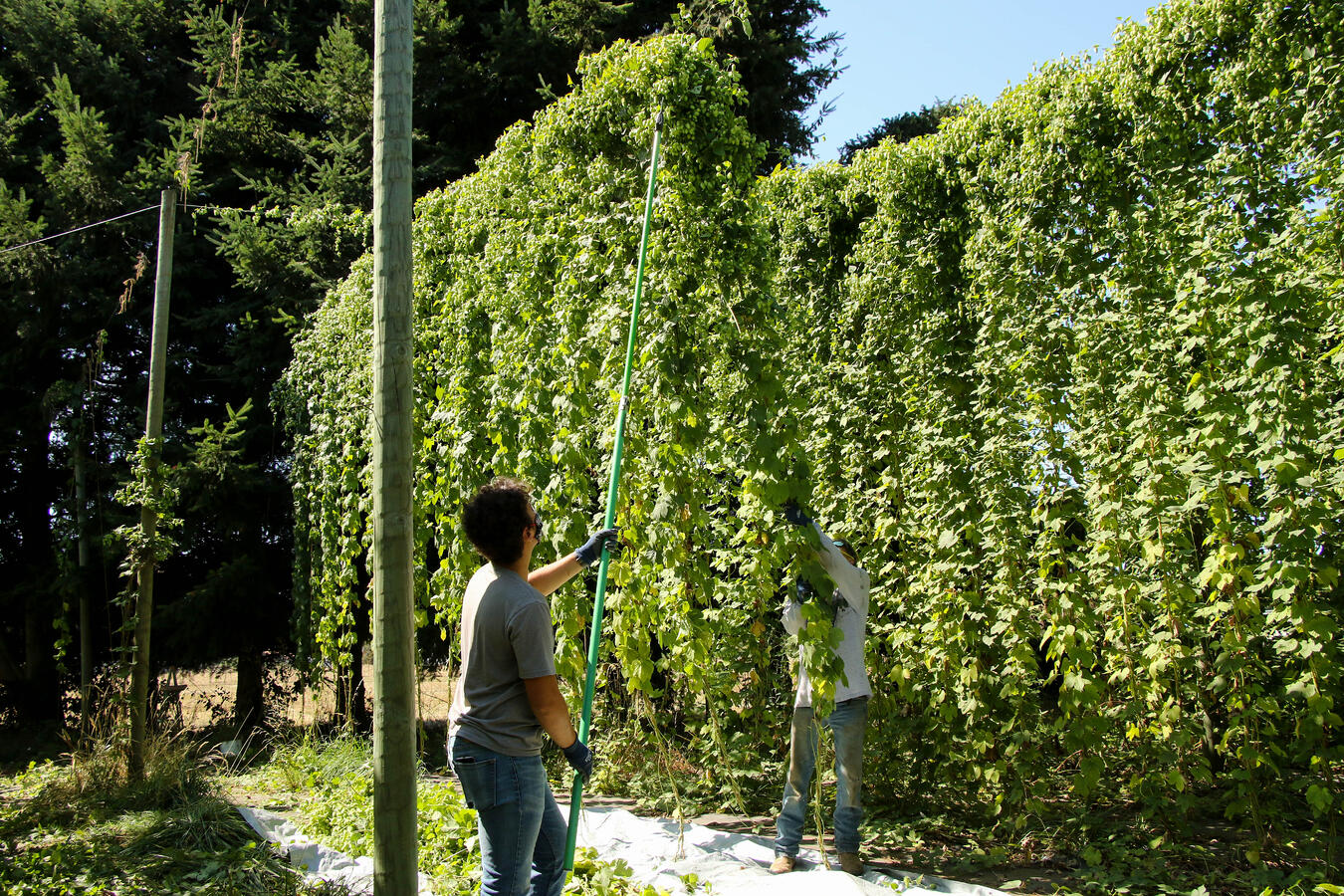 Organic hops plants being cut down from their trellises for harvest.