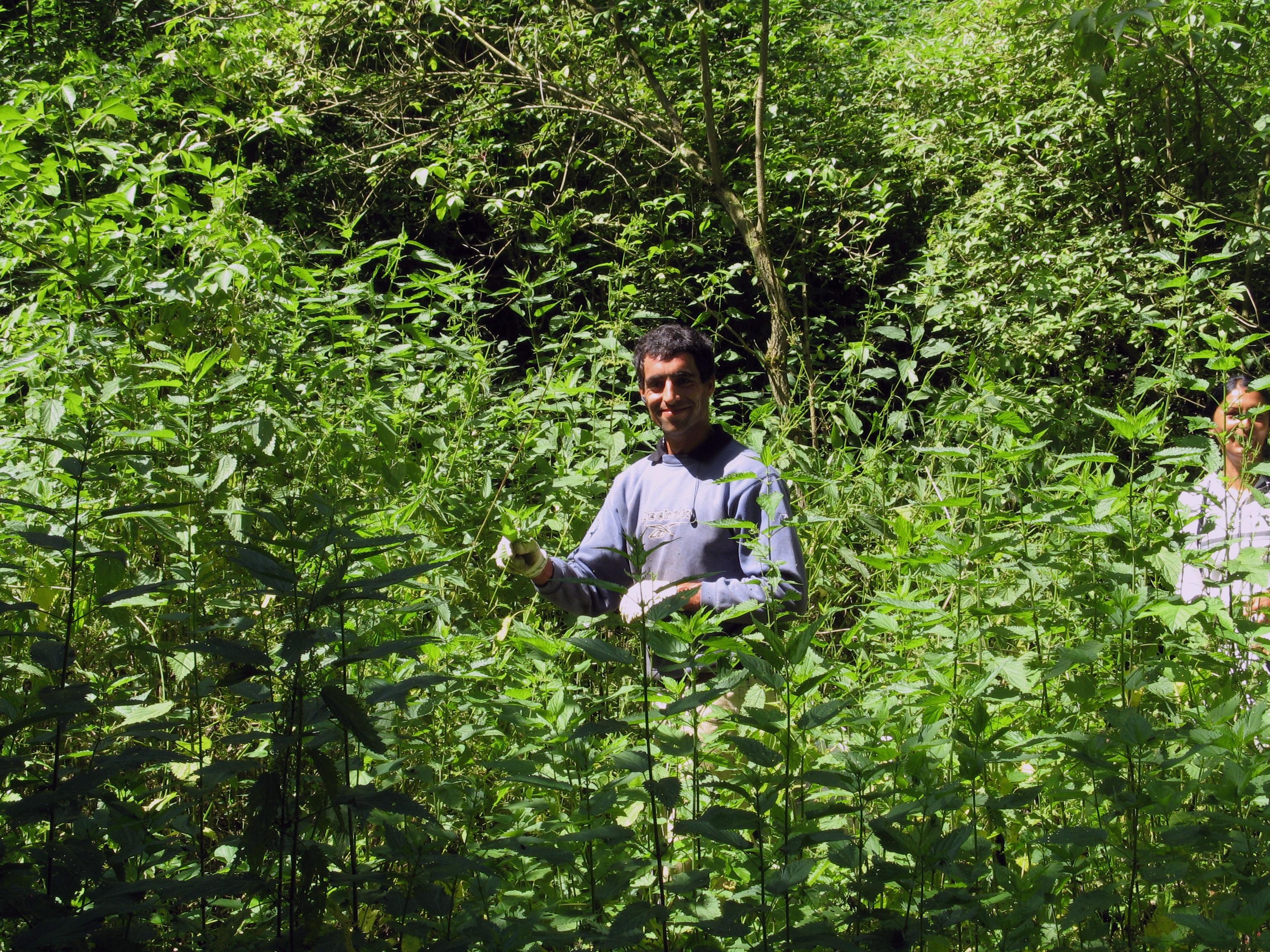 Hungarian farmer picks fresh stinging nettle in the forest