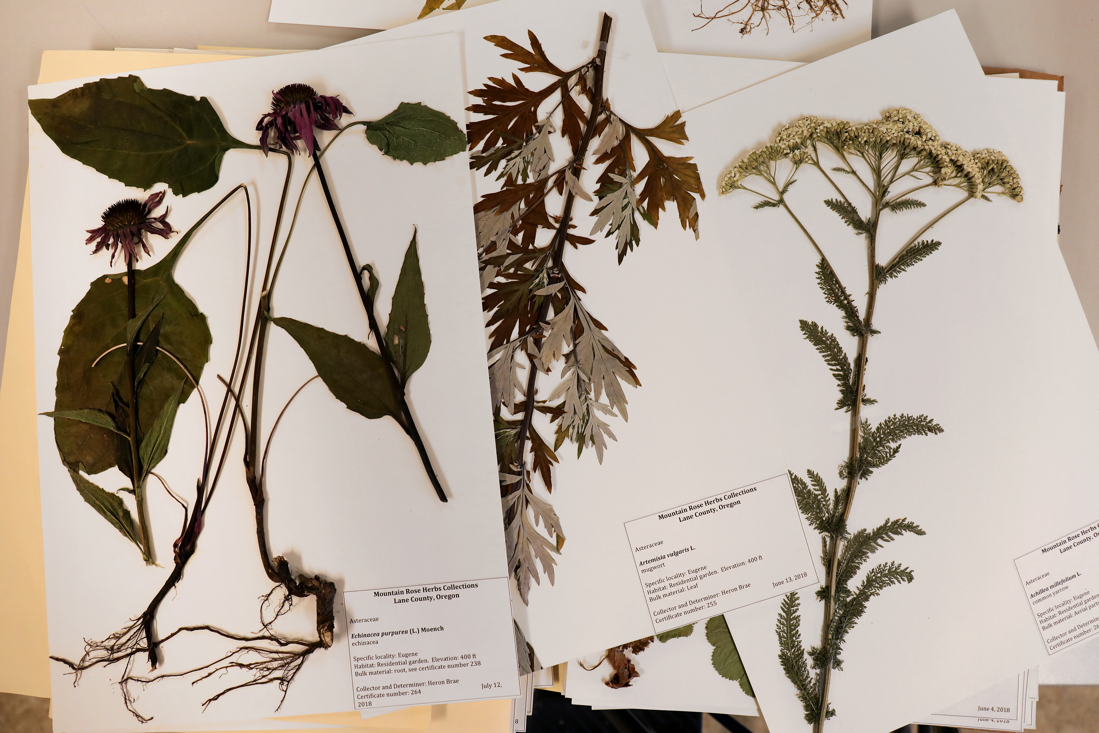 Echinacea, mugwort, and yarrow reference samples which were collected by botanist Heron Brae to be kept in Mountain Rose Herb's library as reference samples to compare with incoming fresh material.