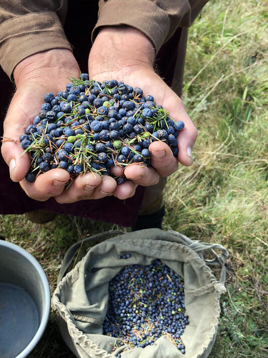 Hands scooping juniper out of a canvas sack of berries below it