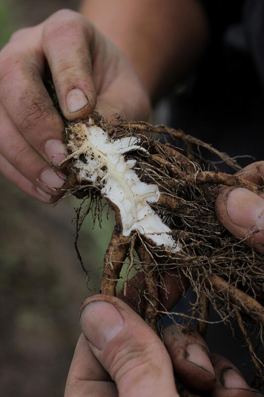 Hands harvesting organic elecampane root in the Pacific Northwest