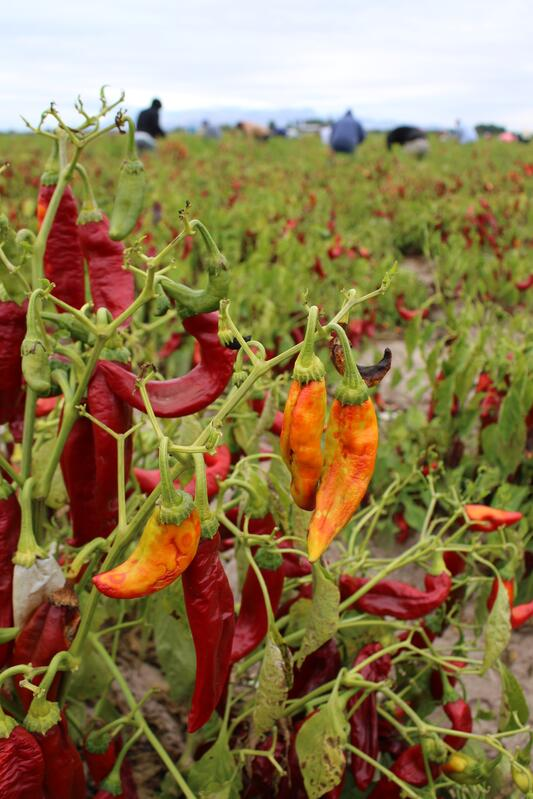 Red and orange peppers growing in a field with workers harvesting in the background.