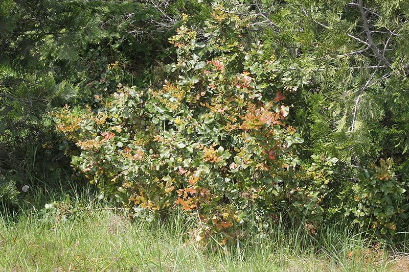 Mountain Rose Herbs - Oregon Grape Root