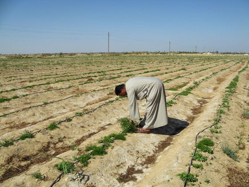 Farm Stories: Sourcing Egyptian Herbs