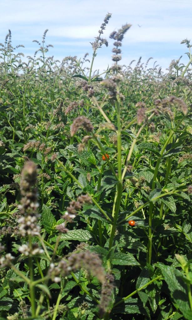 Organic Mint Field