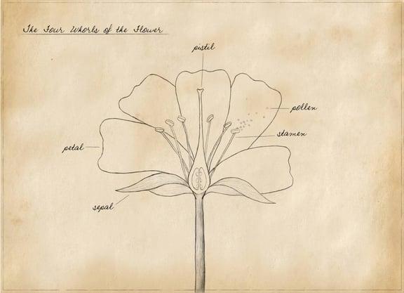 Basic Botany for Beginners ~ Four Whorls of the Flower